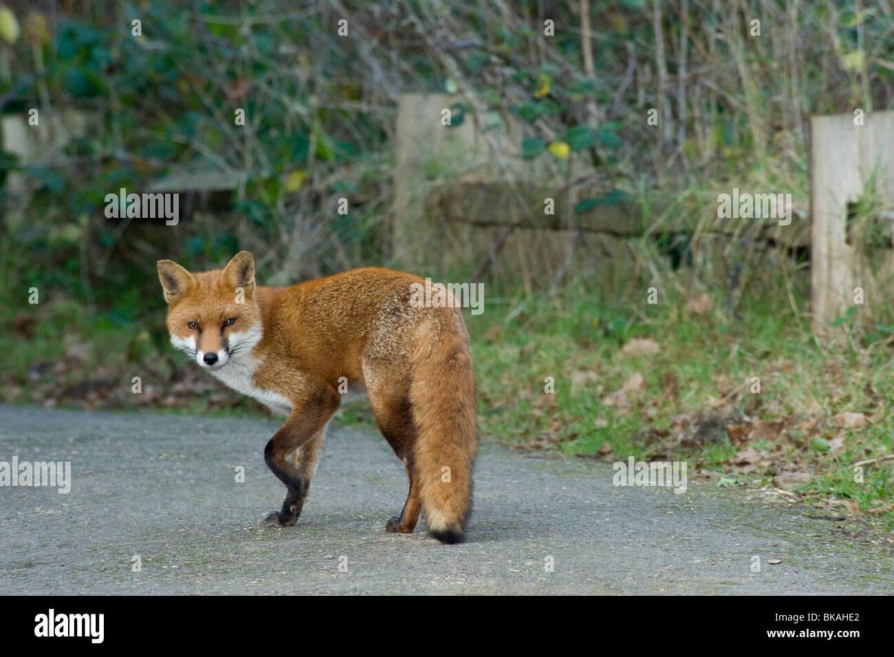 Red fox, Vulpes vulpes, pauses to look at camera as walks along path - Stock Image