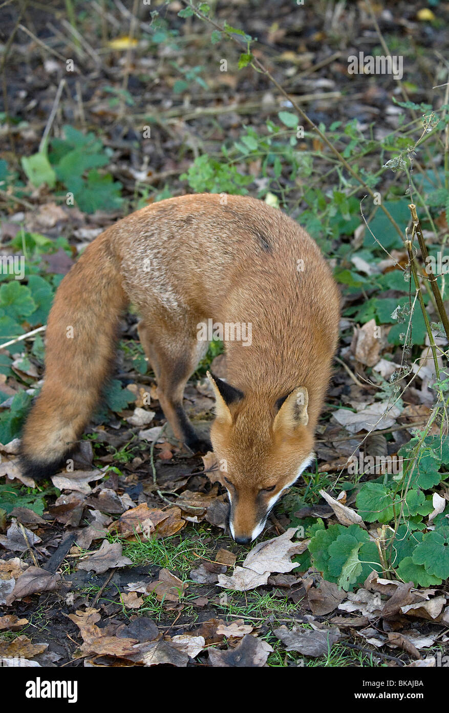 Red fox, Vulpes vulpes, searches for food beneath bird feeders - Stock Image