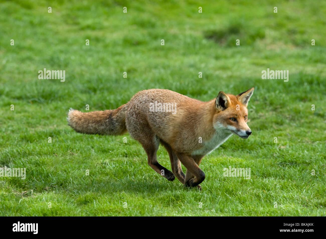 Red fox, Vulpes vulpes, running - Stock Image
