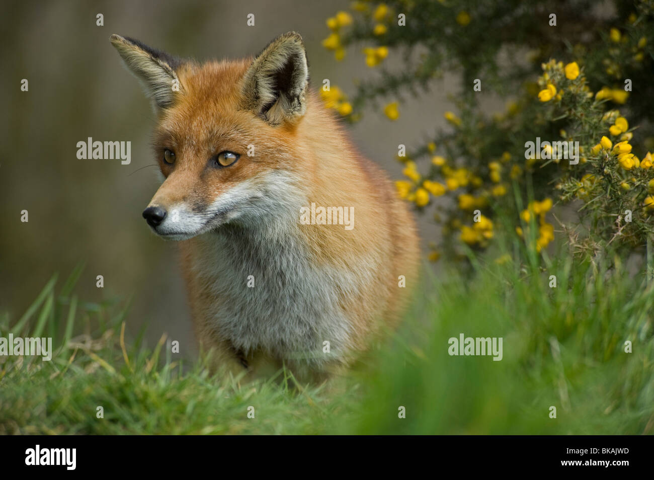 Red fox, Vulpes vulpes, with gorse - Stock Image