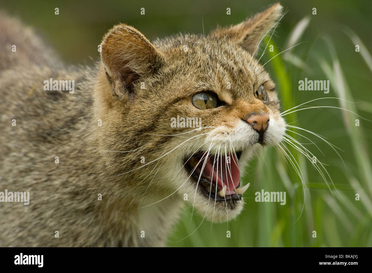 Wild cat Felis silvestris snarling - Stock Image