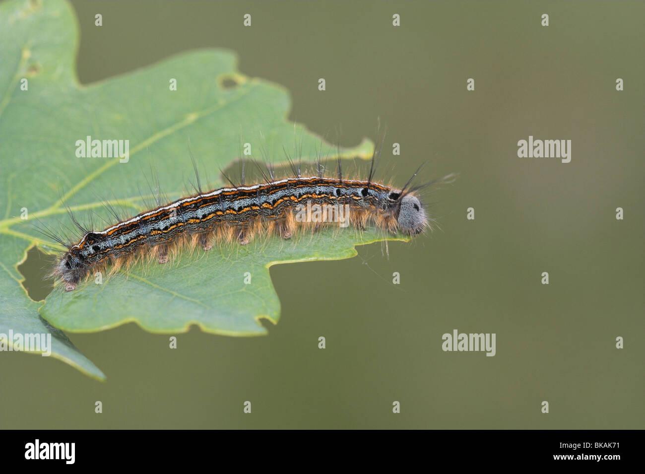 Caterpillar of the Lackey - Stock Image
