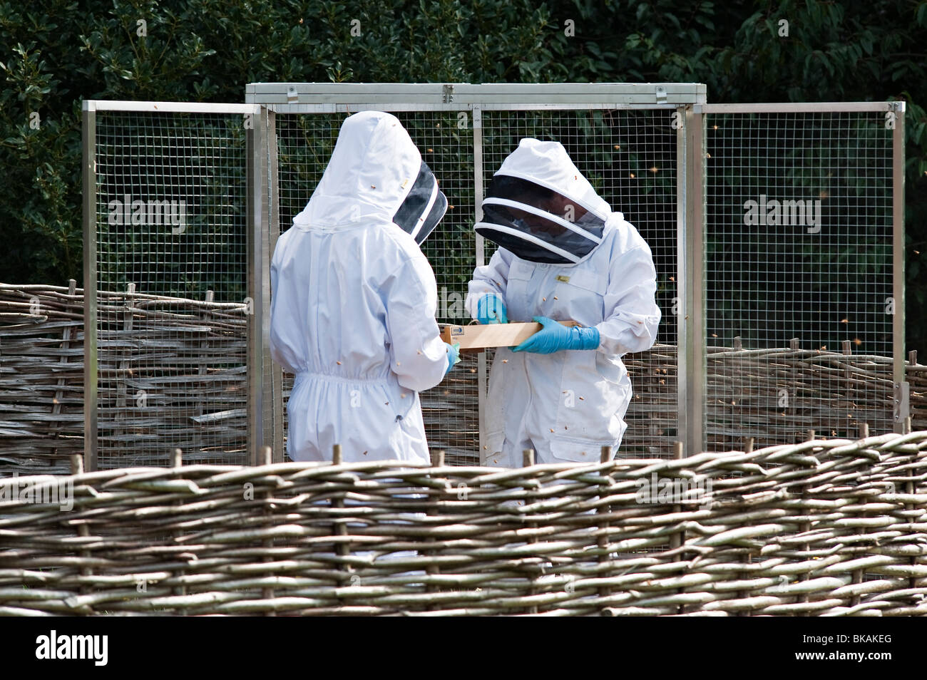 Beekeepers inspecting their hives at Kew Gardens, London, UK - Stock Image