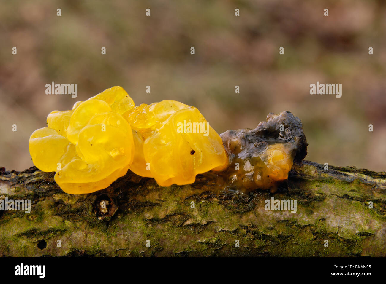 Close-up Yellow brain fungus - golden jelly fungus - Witch's Butter (Tremella mesenterica) on a brown branch - Stock Image