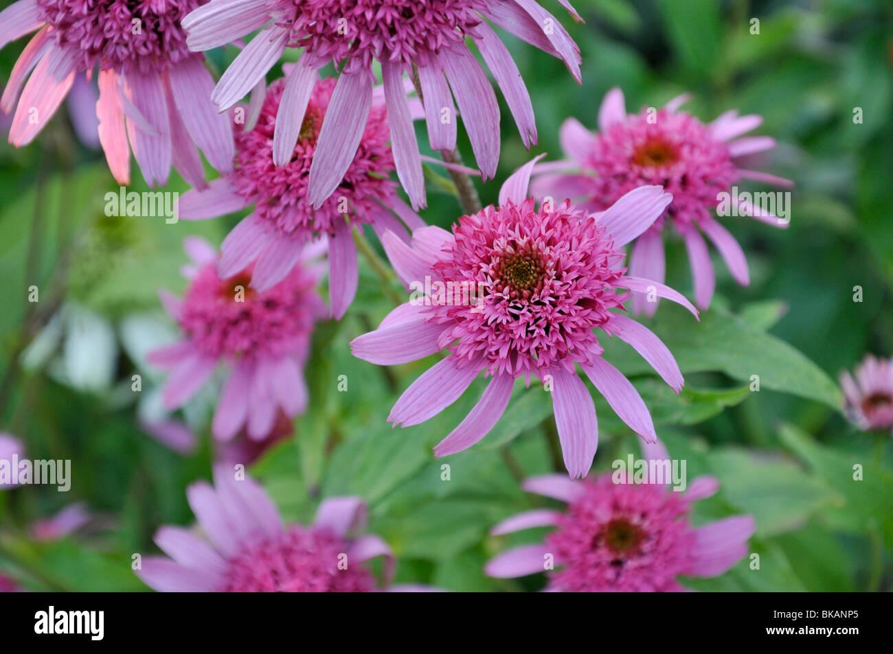 Purple cone flower (Echinacea purpurea 'Pink Double Delight') - Stock Image