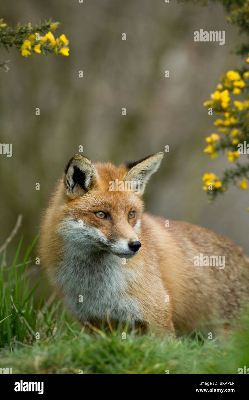 Red fox, Vulpes vulpes, with gorse flowers in spring - Stock Image