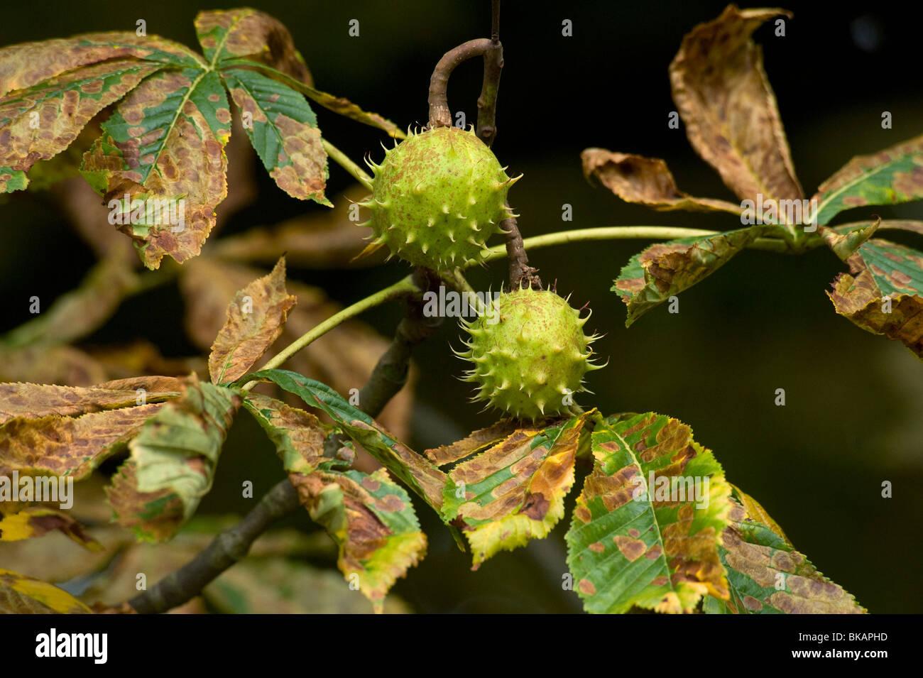 Horsechestnut leaf miner damage to horse chestnut leaves Stock Photo