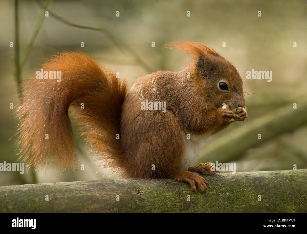 Red squirrel feeding - Stock Image
