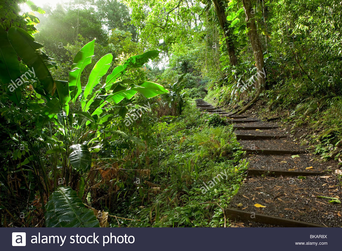 The Waikamoi Nature Trail through rainforest on the road to Hana on the island of Maui in the State of Hawaii USA - Stock Image