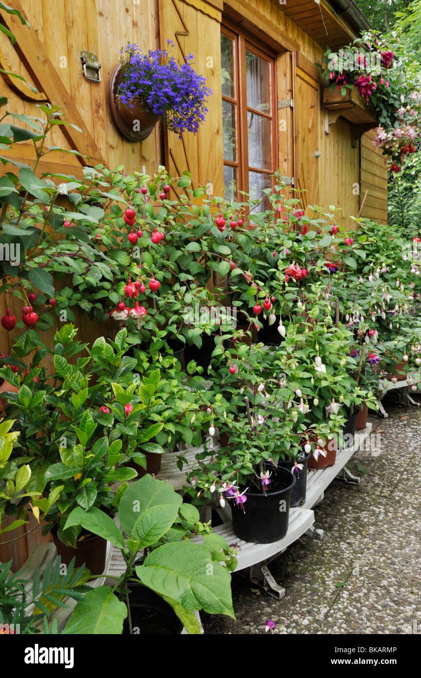 Etagere with fuchsias besides a garden house - Stock Image