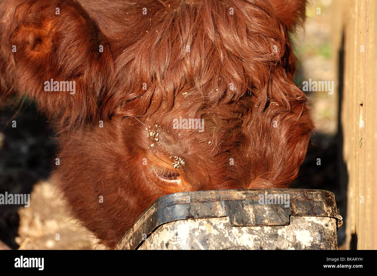 Woman lick cow-7690