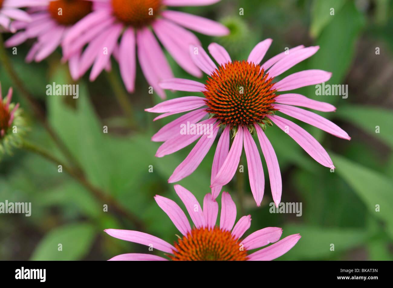 Purple cone flower (Echinacea purpurea 'Rosenelfe') - Stock Image