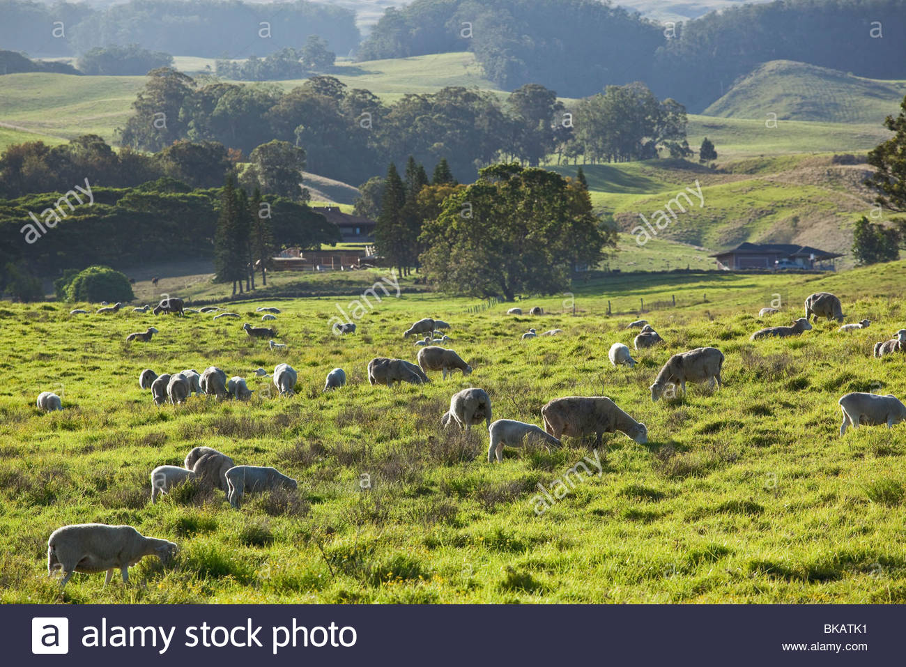 Sheep ranching upcountry on the island of Maui in the State of Hawaii USA Stock Photo