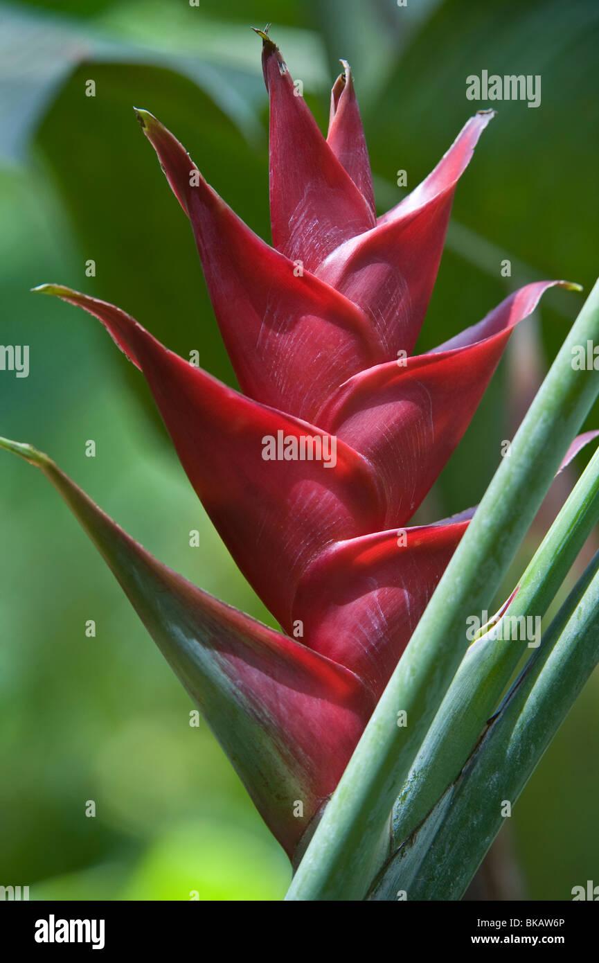 Heliconia (Heliconia caribaea) flower Diamond Botanical Gardens Soufriere St. Lucia Windward Islands West Indies - Stock Image