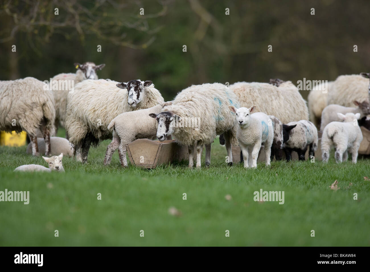 Ewe and lambs - Stock Image