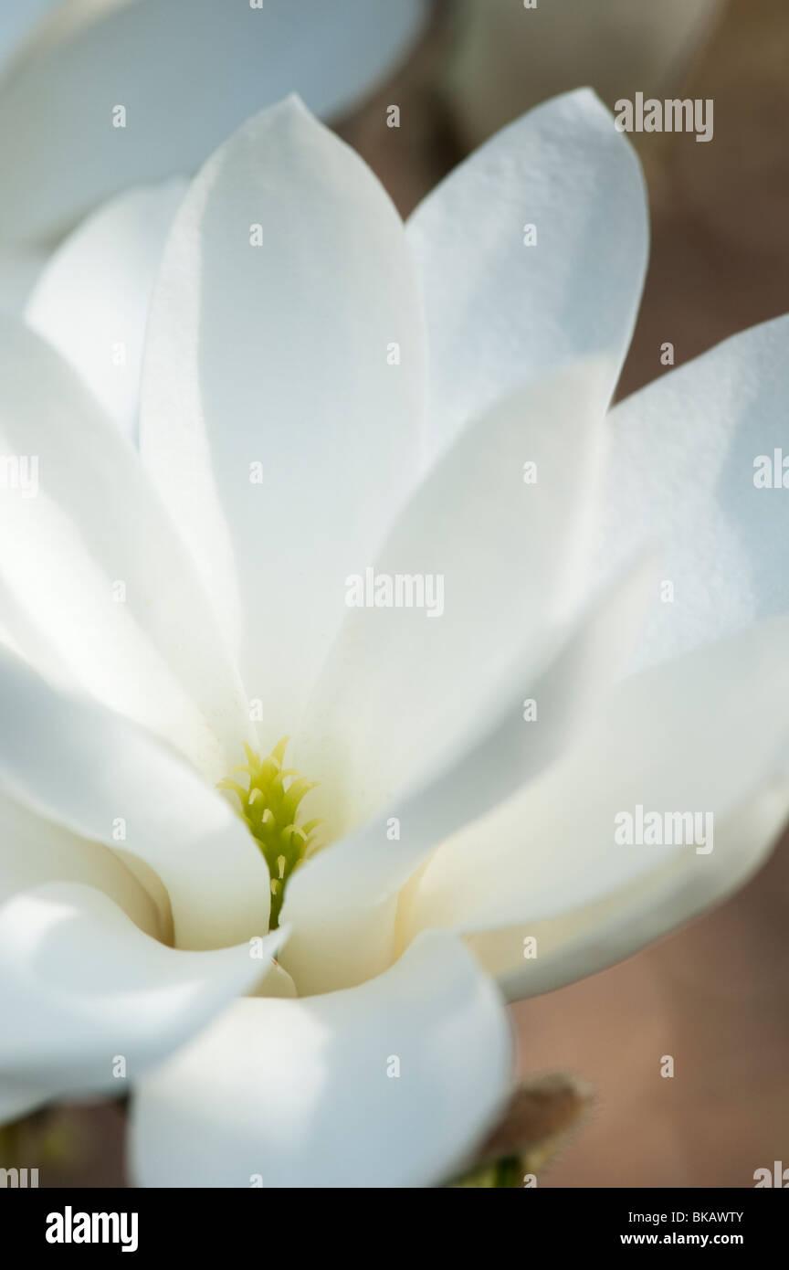 Magnolia 'pristine' flower - Stock Image