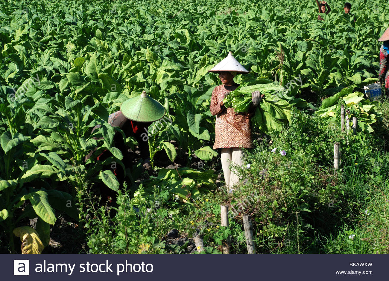 Women in cane hats harvesting tobacco leaves in field Keruak Lombok Timur NTB Indonesia - Stock Image