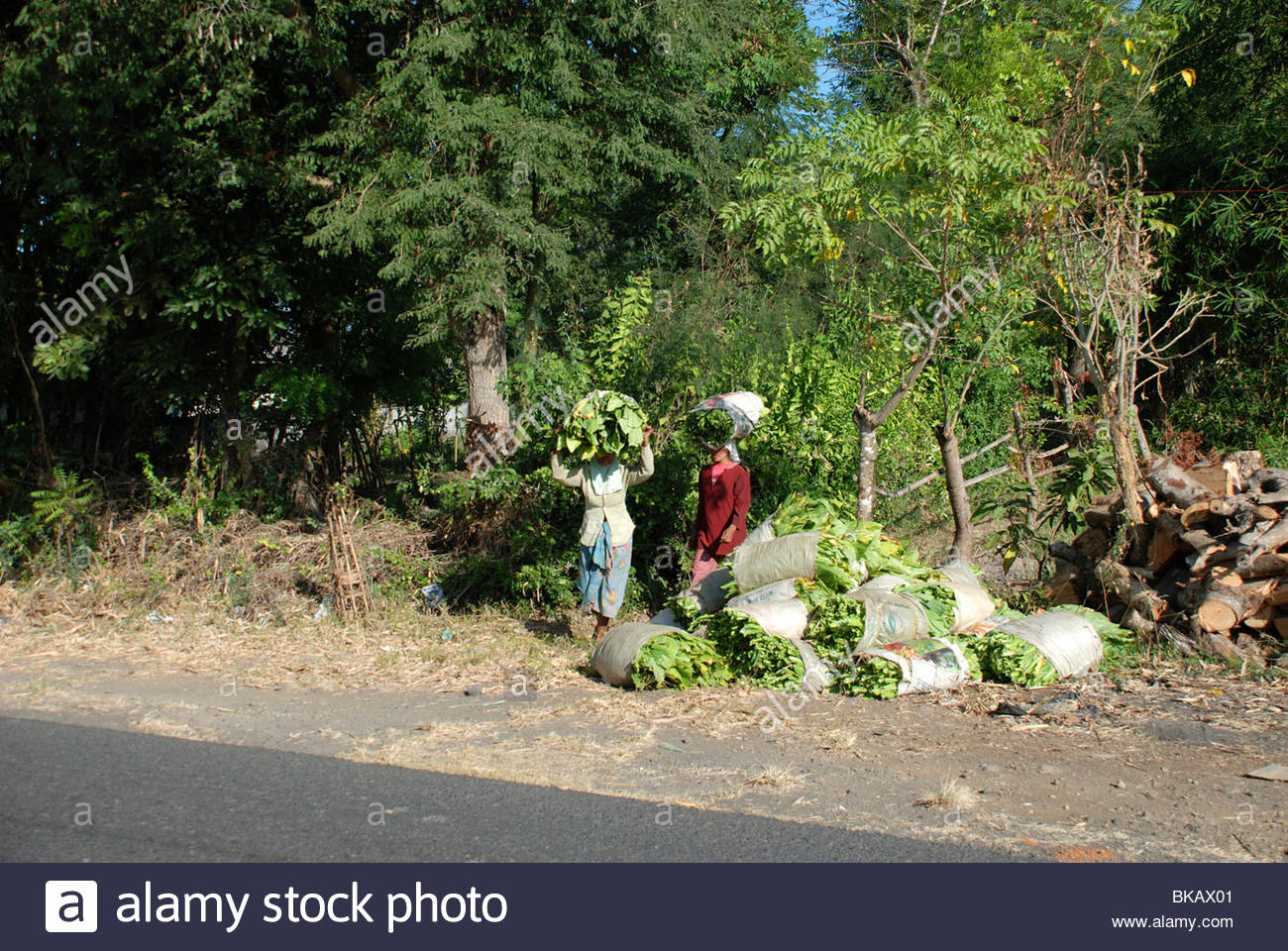 Two women carry bundles of tobacco leaves on their heads to roadside collection point Keruak Lombok Timur NTB Indonesia - Stock Image