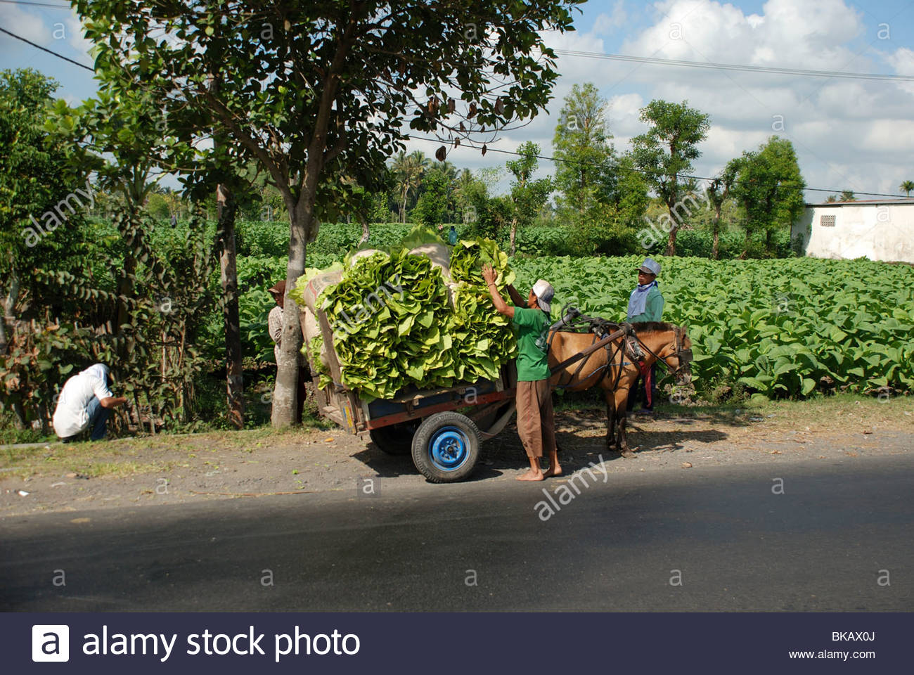 Man ties up a load of bundled harvested tobacco leaves Kopang Lombok Barat NTB Indonesia - Stock Image