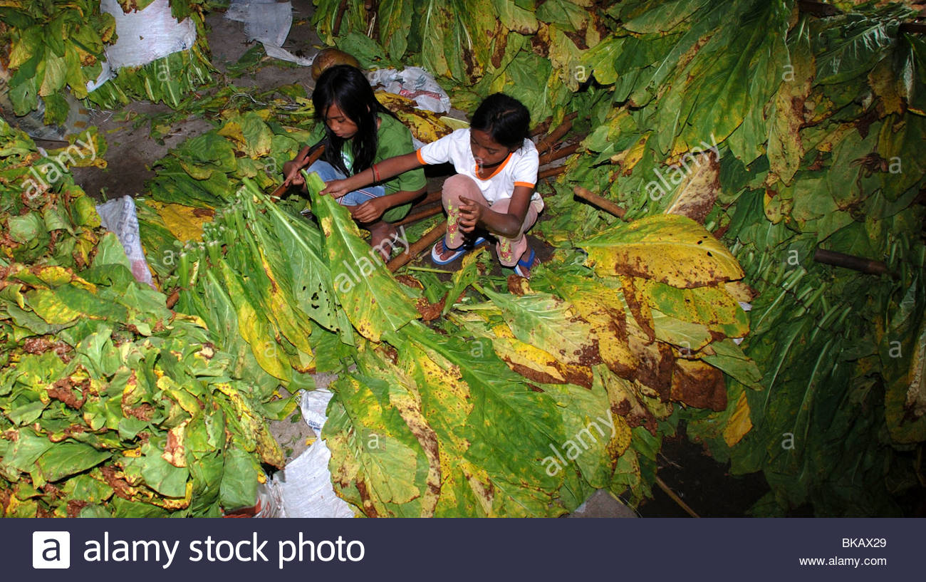 Two girls tie tobacco leaves onto bamboo poles pror to the curing process Sukaraja Lombok Timur NTB Indonesia - Stock Image