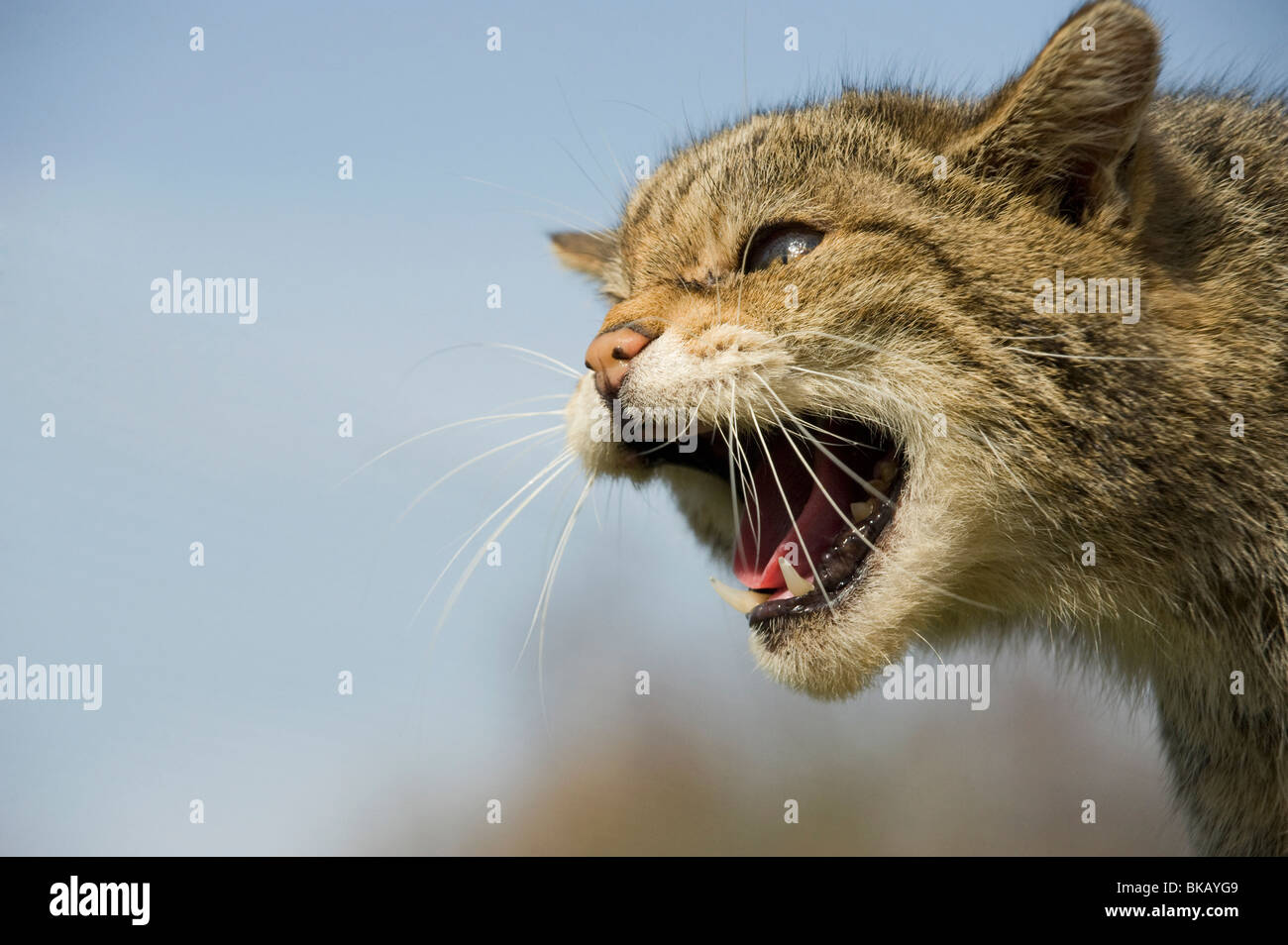 Scottish wild cat, Felis silvestris, snarling with ears flattened. - Stock Image