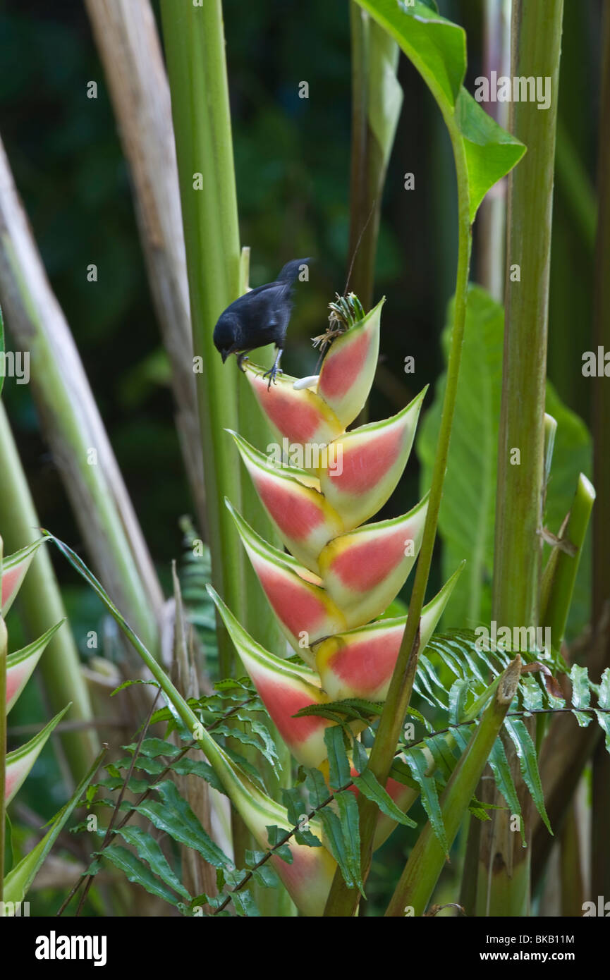 Lesser Antillean Bullfinch (Loxigilla noctis) on Heliconia wagneriana Diamond Botanical Gardens Soufriere St. Lucia - Stock Image