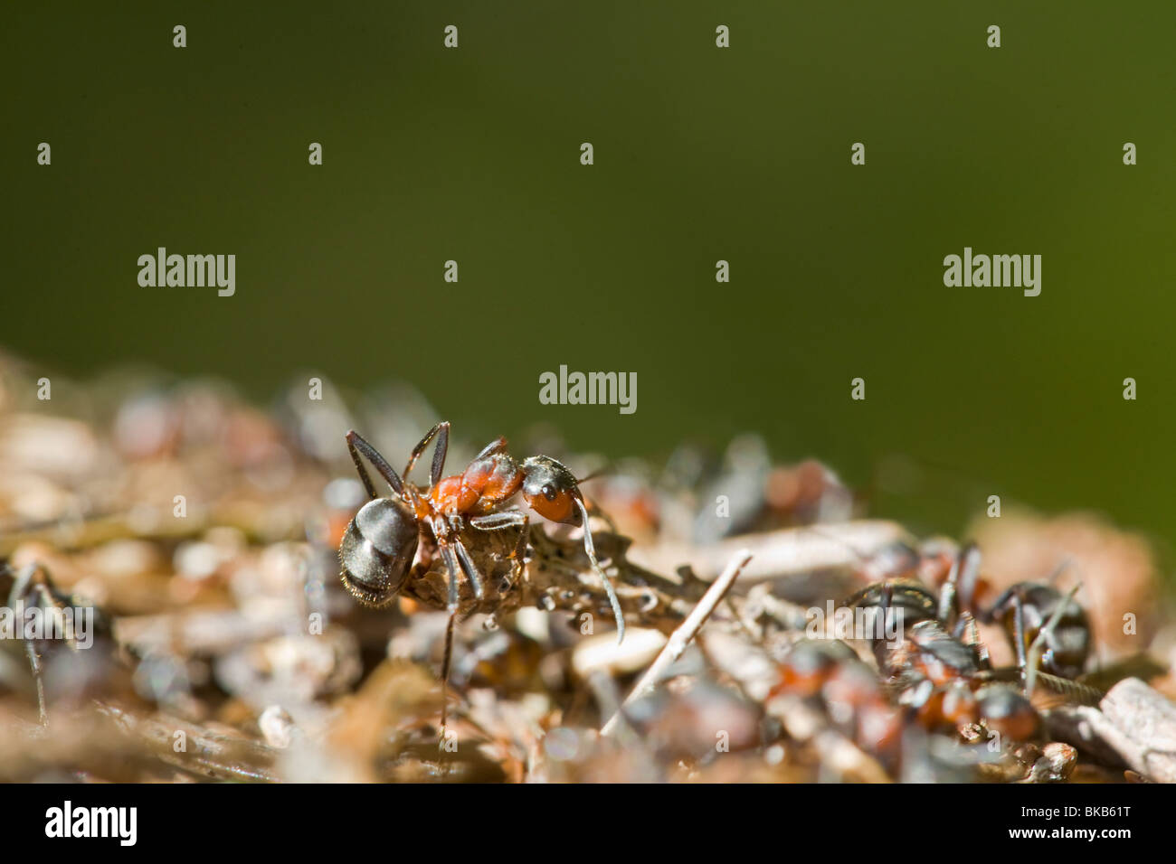 Southern Wood Ant Formica rufa Insects Europe Scandinavia Sweden Stock Photo