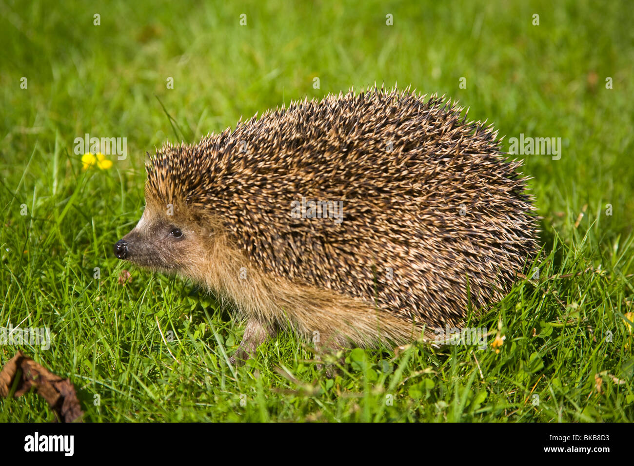 Hedgehog Erinaceus europaeus in garden Sweden Europe - Stock Image