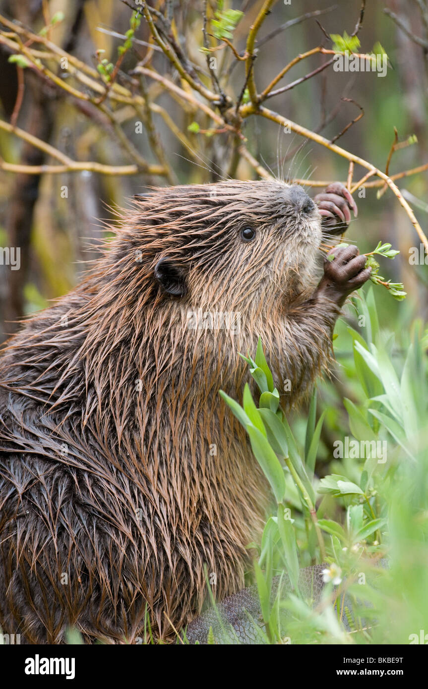 American Beaver (Castor canadensis) gnawing on a twig. Stock Photo