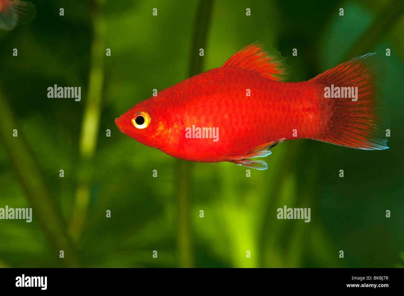 Platy Fish Stock Photos & Platy Fish Stock Images - Alamy