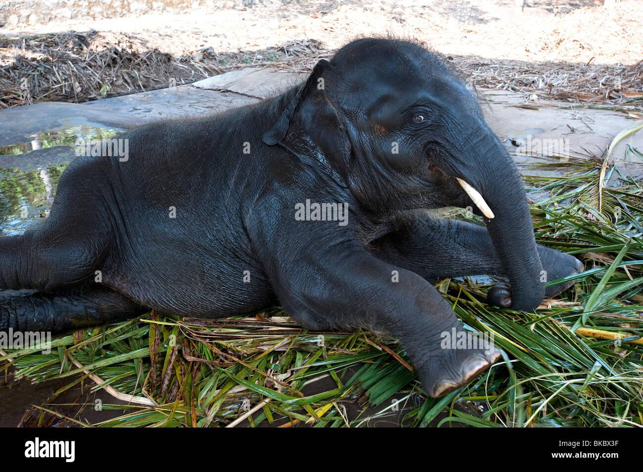 Baby elephant kerala india stock image