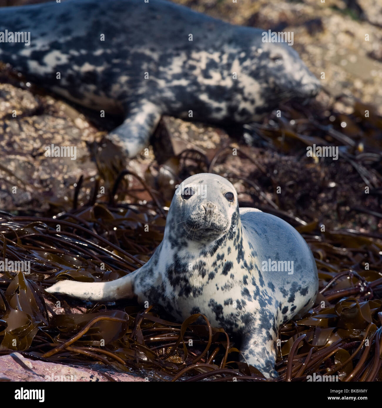 Grey seal hauled out on the rocks, taken in the Farne Islands, Northumberland Stock Photo