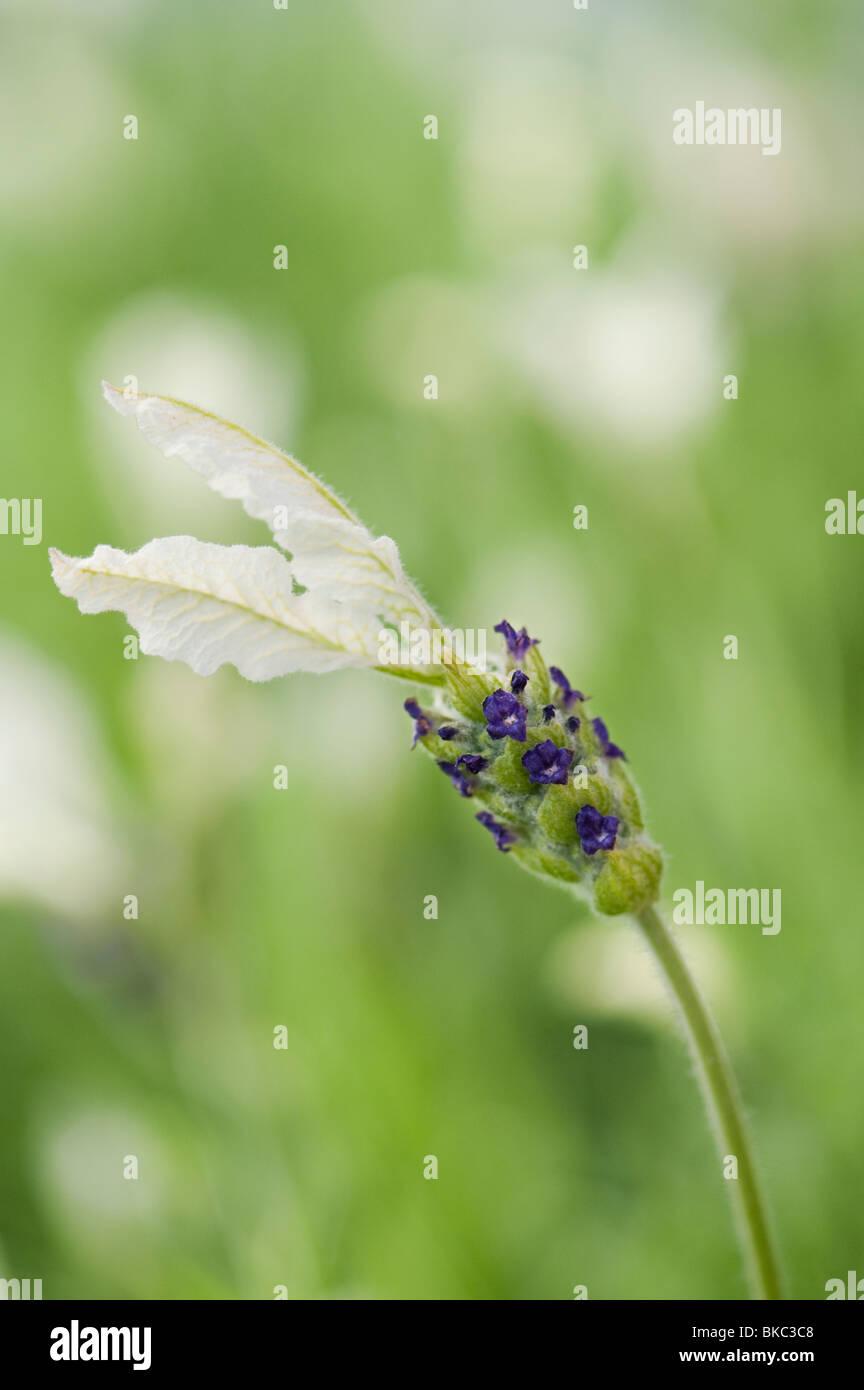 Lavandula stoechas viridis 'Ballerina'. Lavender flower - Stock Image