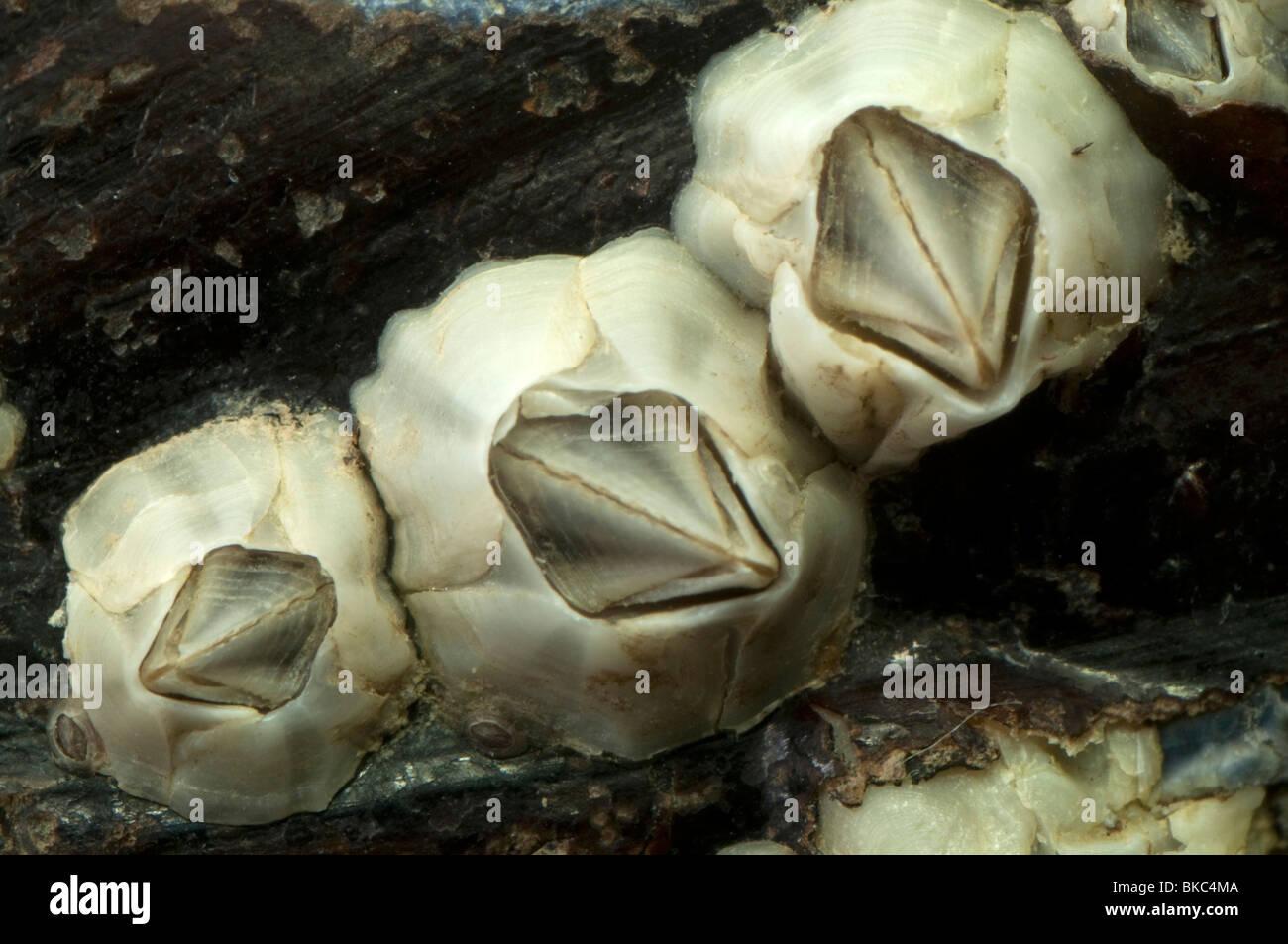 Australian barnacle (Elminius modestus) on a mussel shell. Stock Photo
