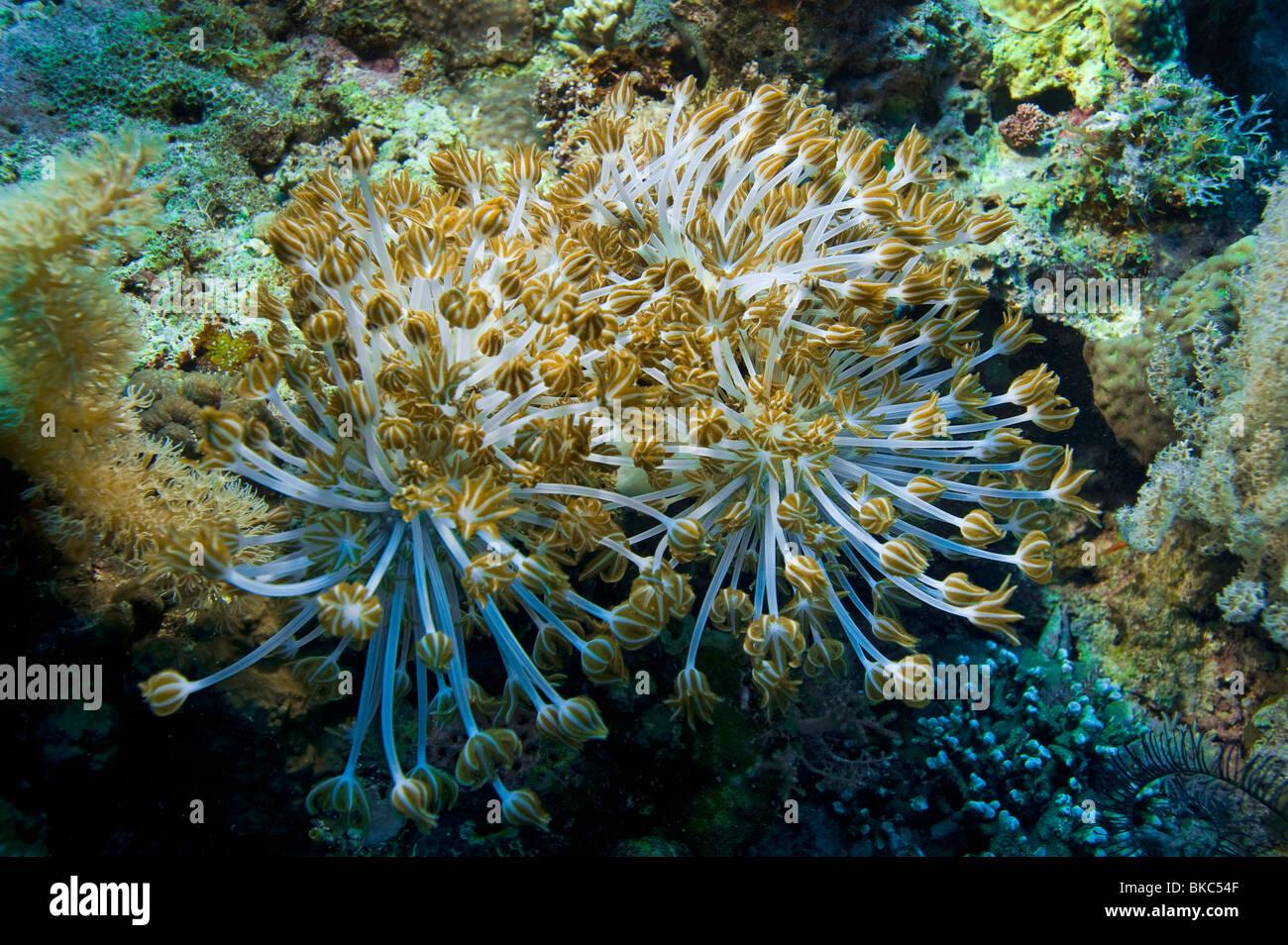 REEF malapascua soft coral sea anemone Corky sea finger Gongonian Briareum asbestinum deadman's fingers flower - Stock Image