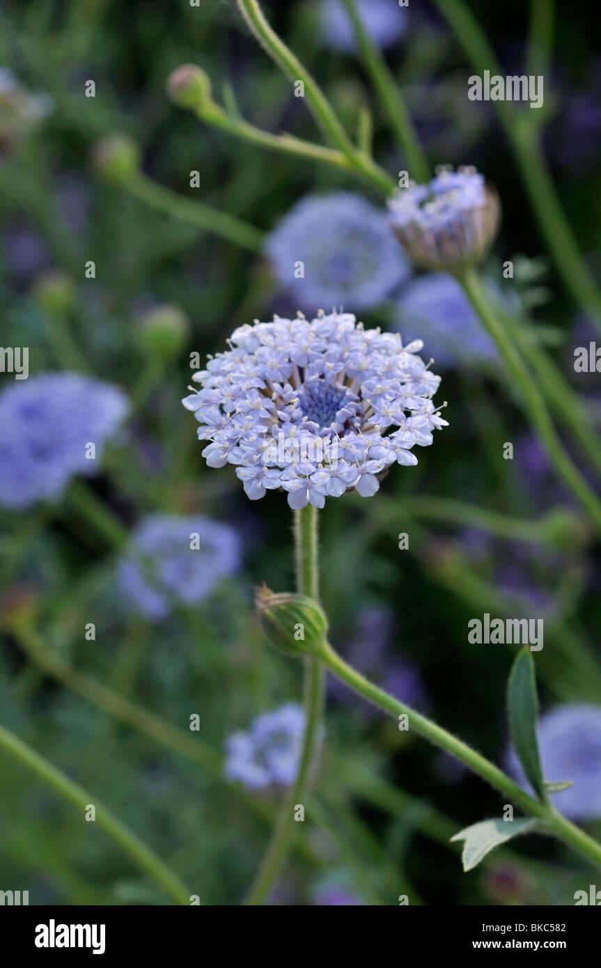 Blue lace flower (Trachymene coerulea syn. Didiscus caeruleus) Stock Photo