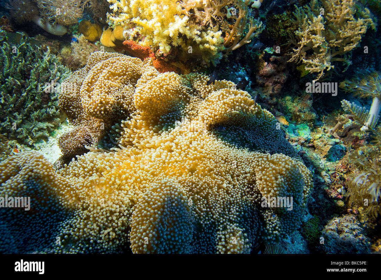 coral reef underwater under water MALAPASCUA ISLANDS underwater water wild wilderness coral reef  soft coral dive - Stock Image