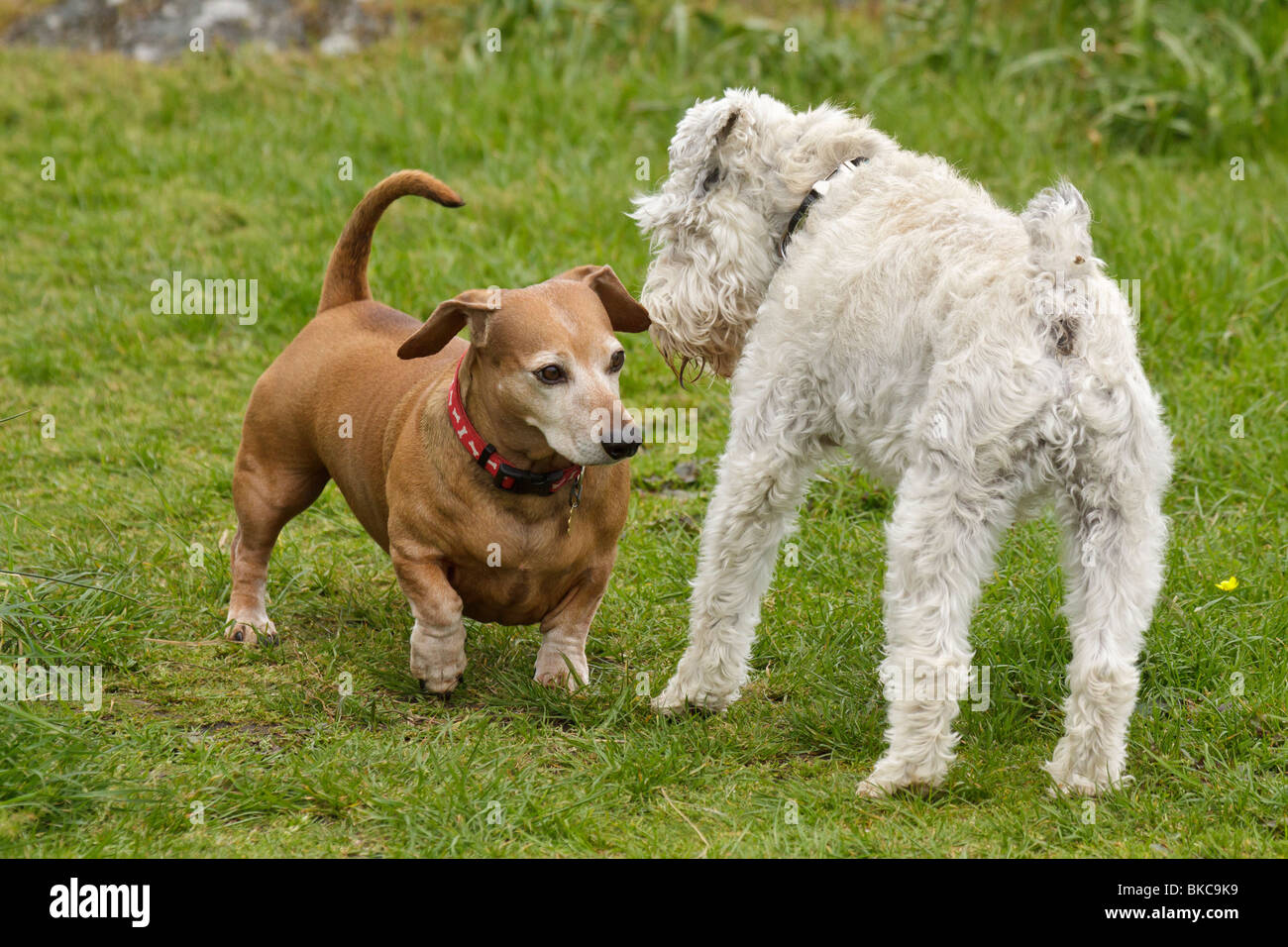 Two dogs interacting with each other-Victoria, British Columbia, Canada. - Stock Image