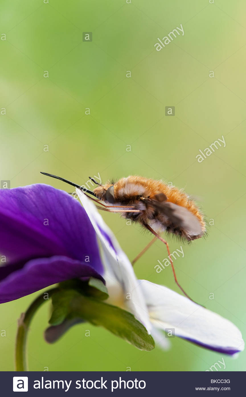Bombylius major. Large Bee fly / Dark-edged Bee-fly  resting on a flower - Stock Image