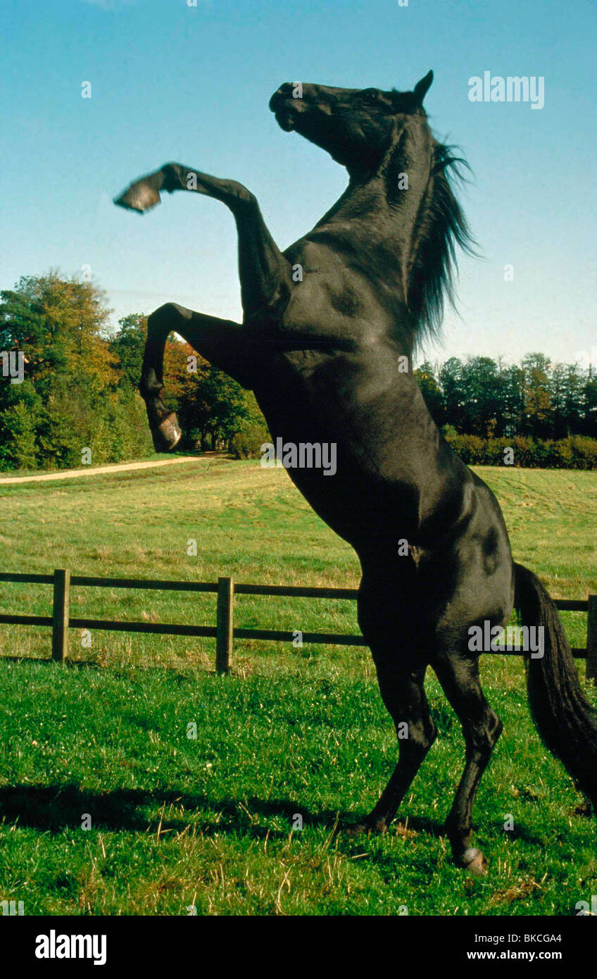 BLACK BEAUTY -1995 - Stock Image