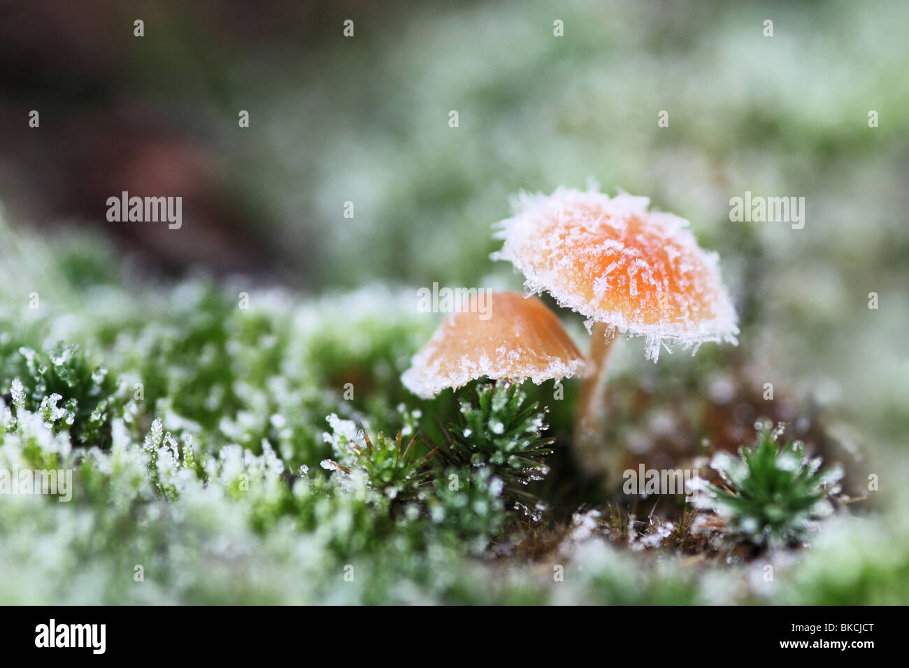 Fungi in the frost surrounded by moss. - Stock Image