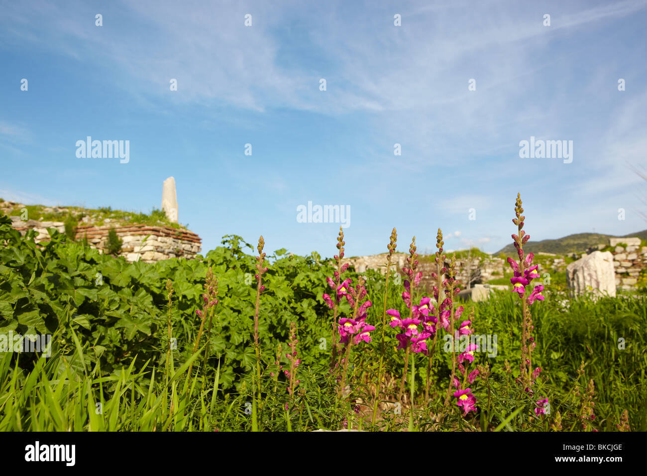 Pink and Magenta flowers at the ruins of the st. Johns Basilica on Ayasuluk Hill, Selcuk, Ephesus, Turkey. - Stock Image