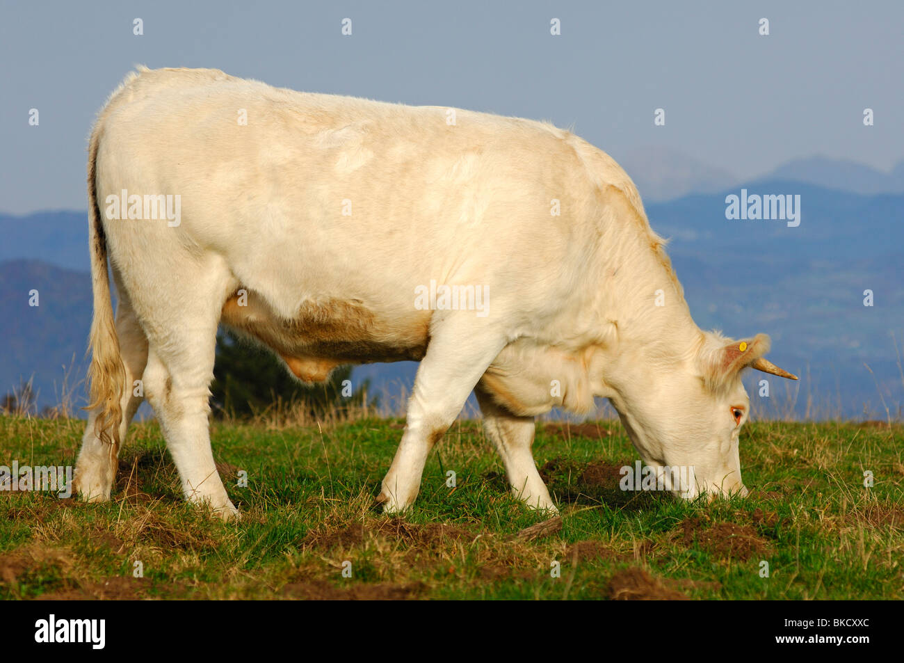 Charolais fattening bull on a mountain pasture, France - Stock Image