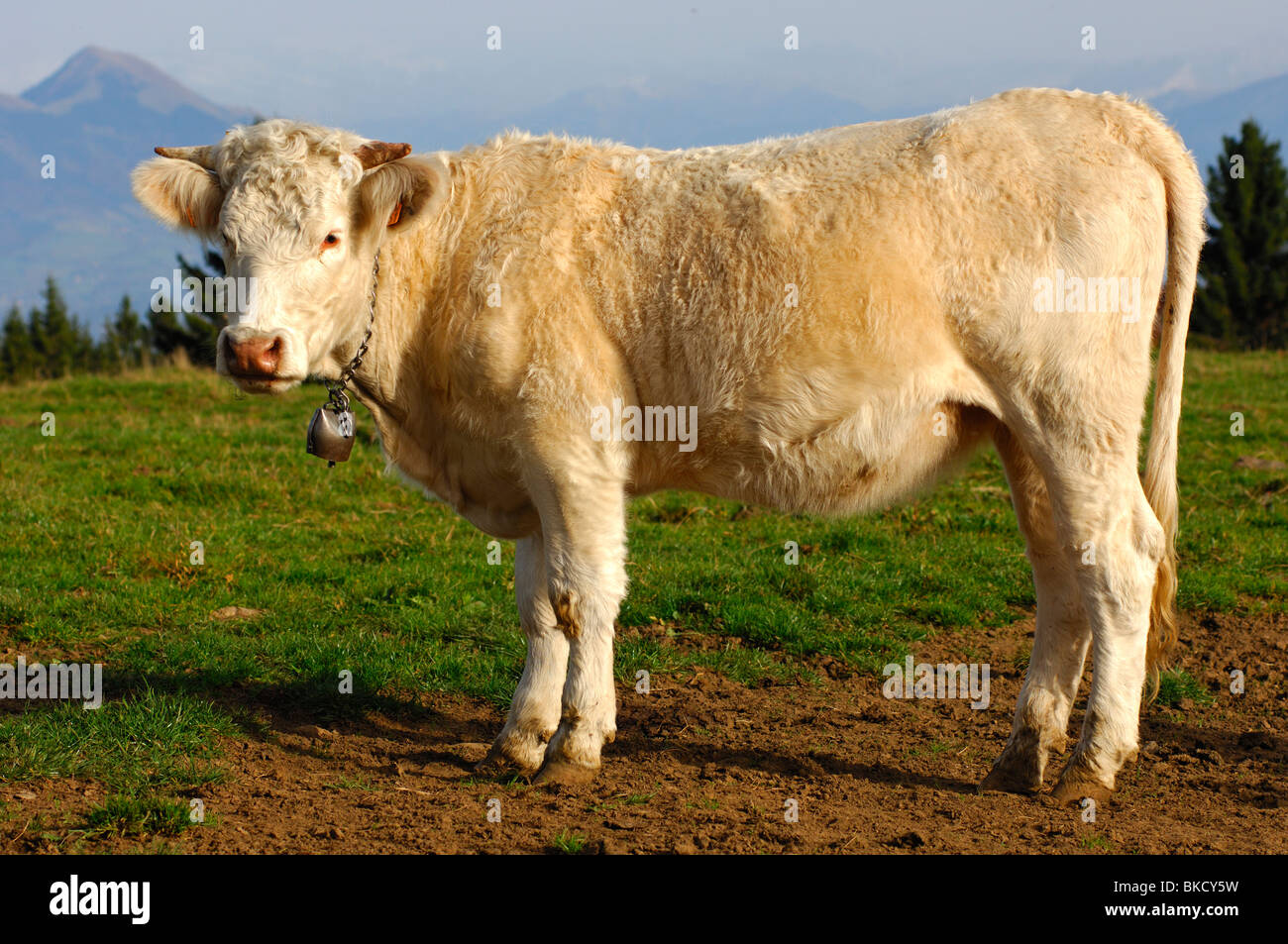 Young Charolais fattening bull, France - Stock Image