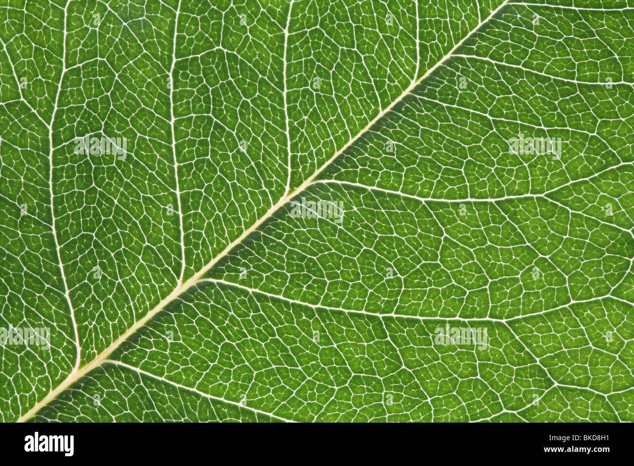 Close-up macro shot of back-lit rose leaf - Stock Image