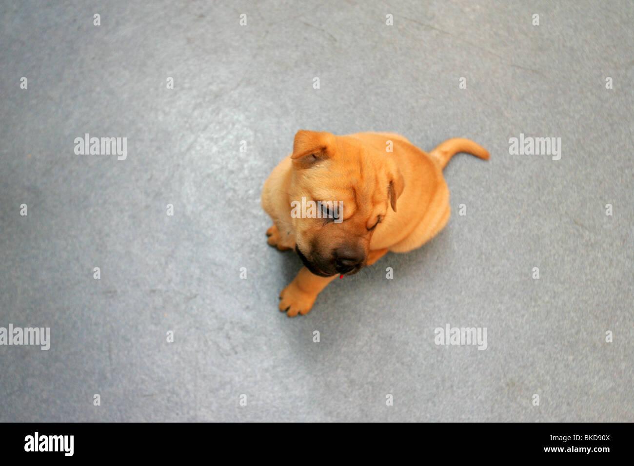 Shar Pei puppy baby on the floor. - Stock Image