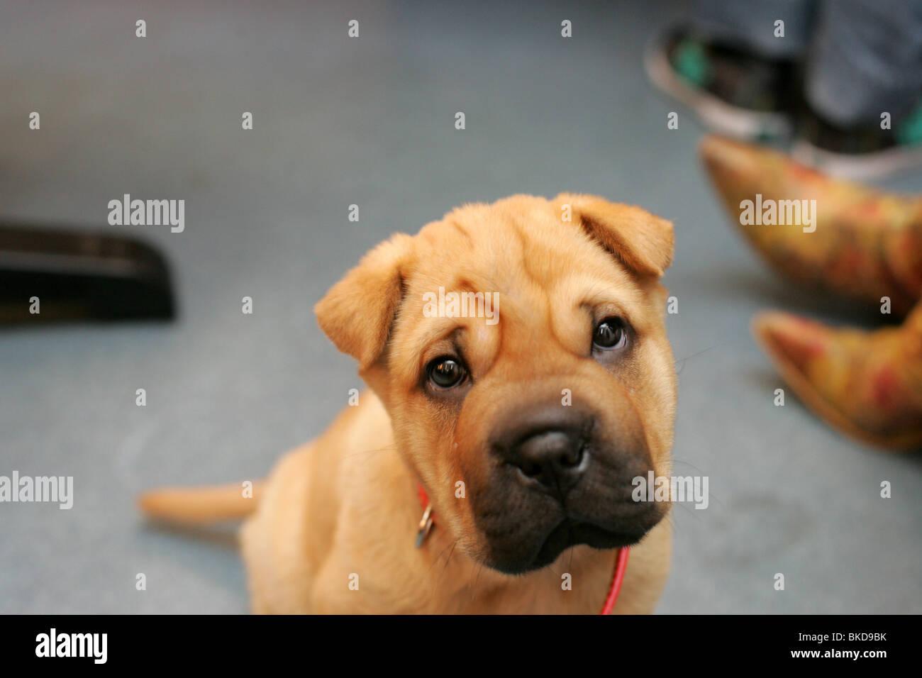 Shar Pei puppy baby looking at camera. - Stock Image