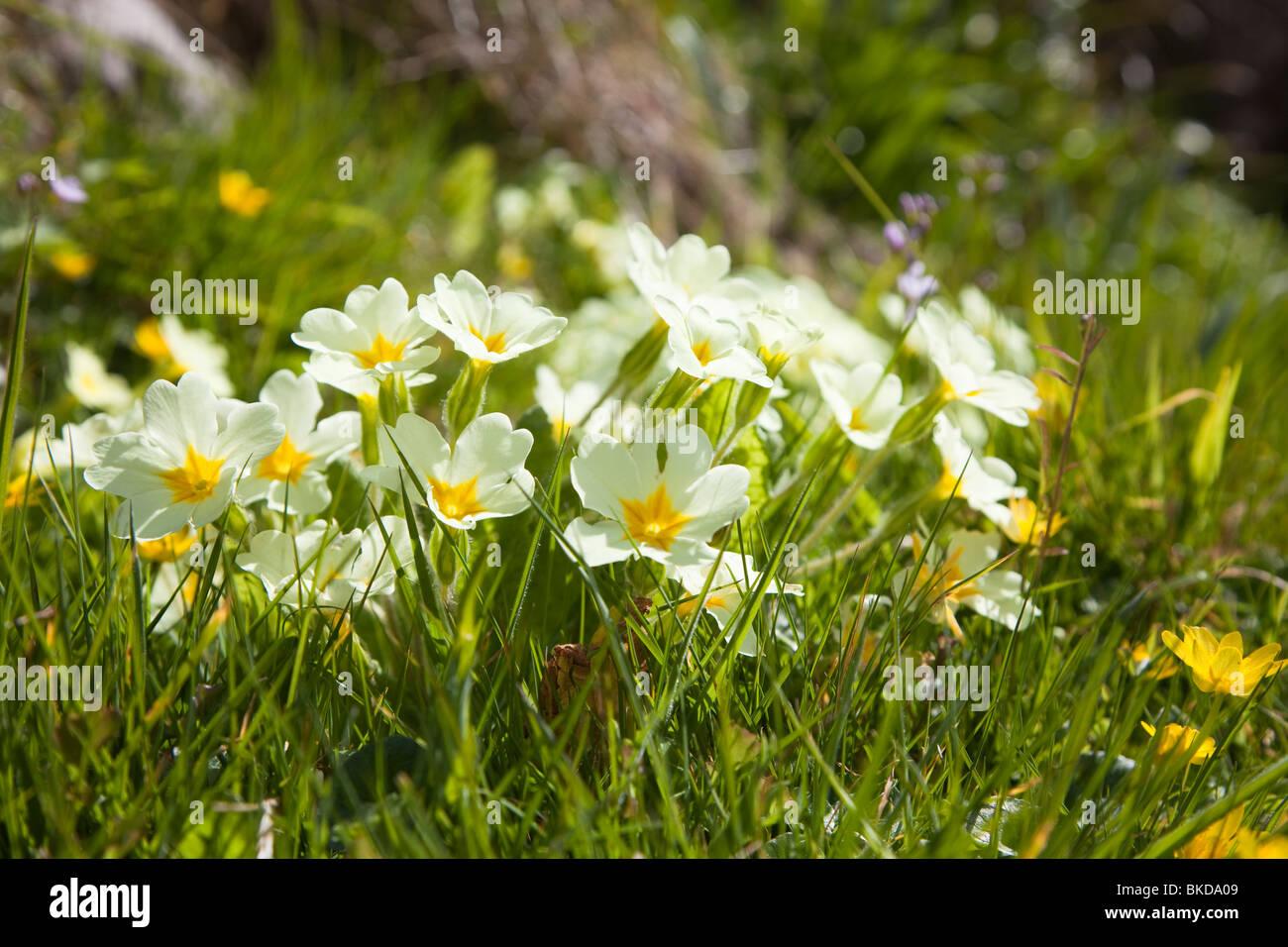 Primroses Primula vulgaris in flower on Caldey Island Pembrokeshire Wales UK - Stock Image