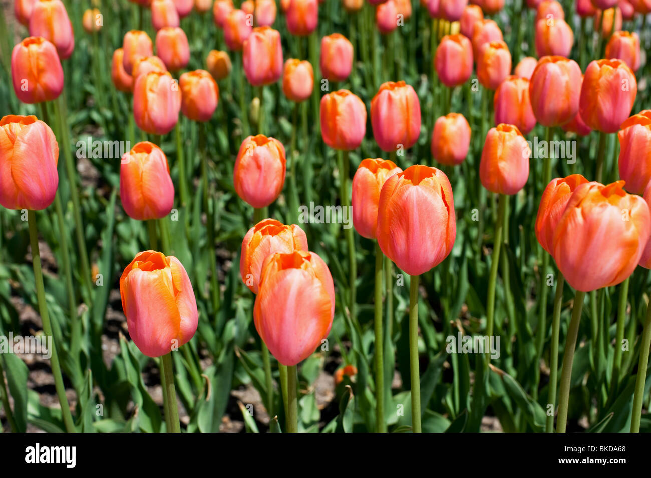 Close up of tulips at the Tulip Time Festival in Holland, Michigan - Stock Image