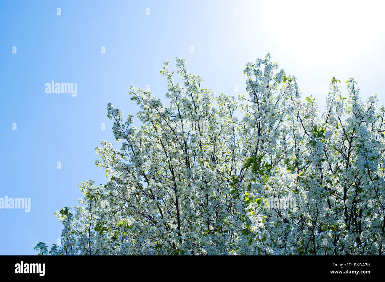 Upward view of a blossoming crabapple tree in spring - Stock Image